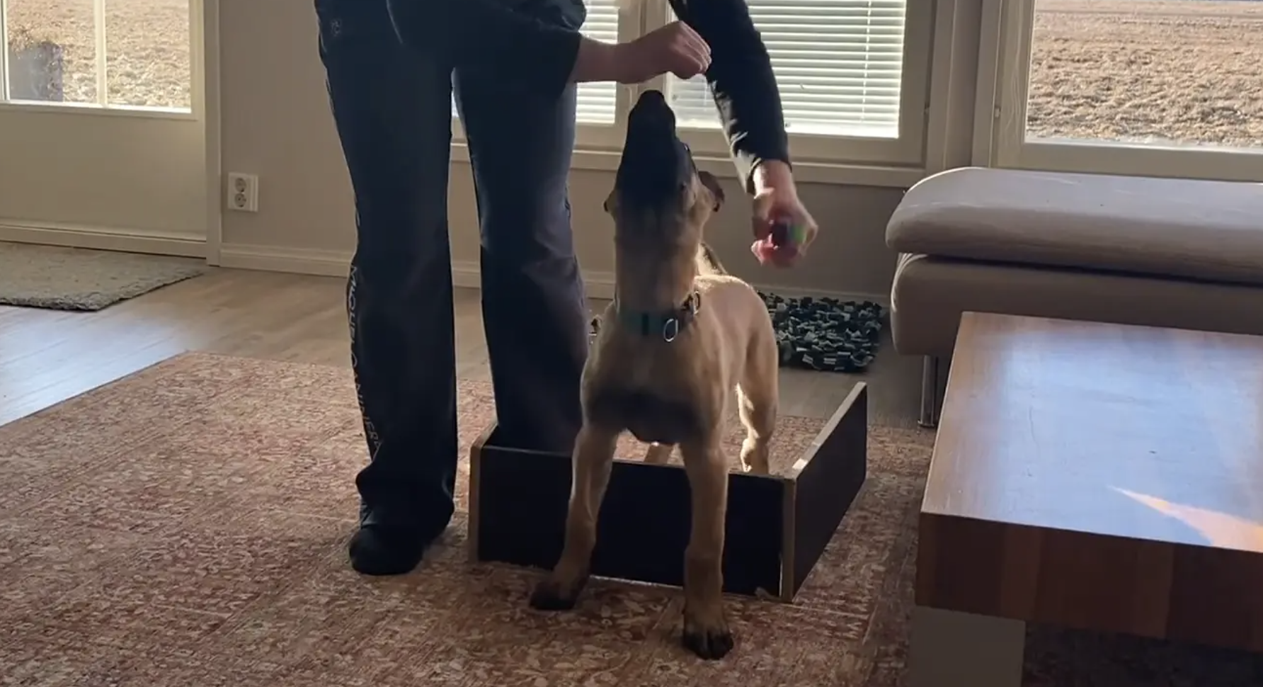 IGP pup learning sit, down and stand exercise
