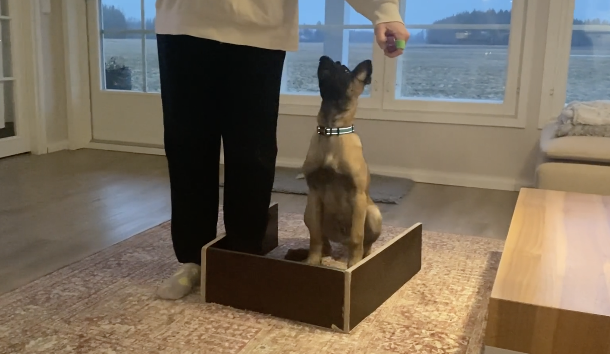 IGP puppy learning sit from motion