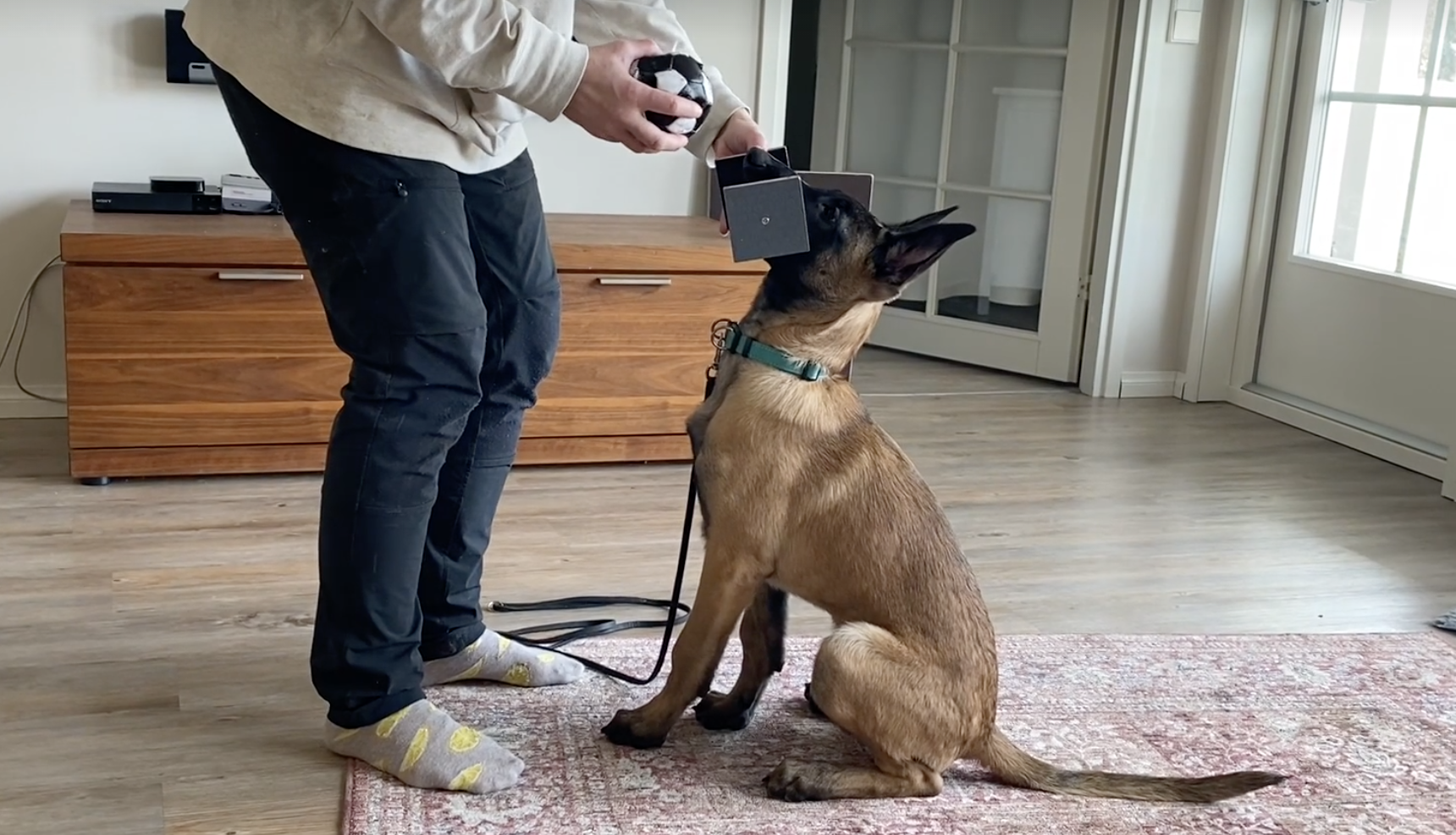 How to teach a dumbbell hold and retrieve to an IGP sport puppy
